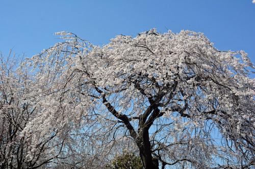 2015-03-26-シダレザクラwb.jpg