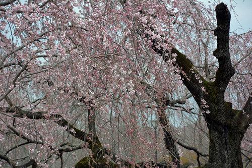 20170401枝垂桜1wb.jpg