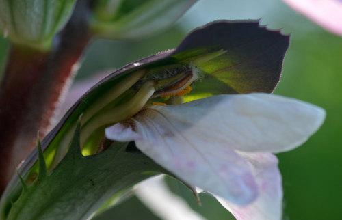 アカンサス雌しべ花粉1wb.jpg