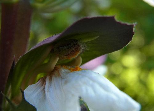 アカンサス雌しべ花粉2wb.jpg