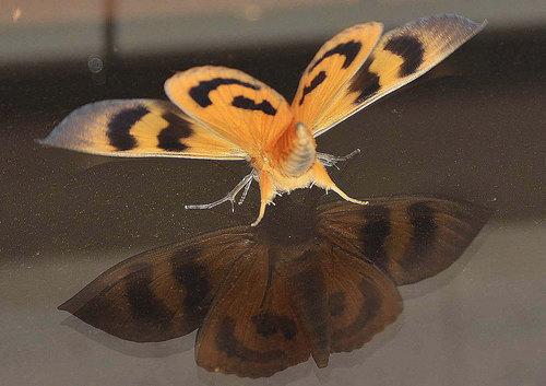 アケビコノハ裏翅1wb.jpg