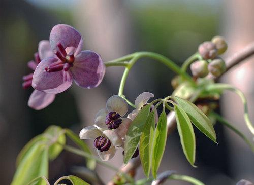 アケビ雌雄の花1wb.jpg