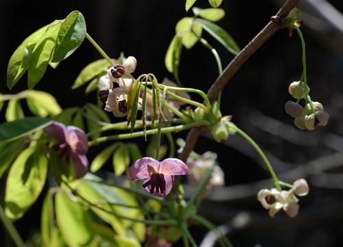 アケビ雌雄の花2wb.jpg