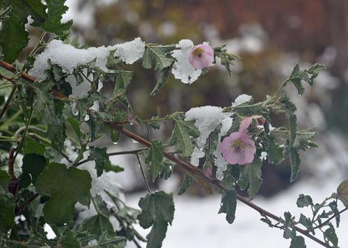 アニソドンテア雪2wb.jpg