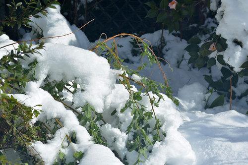 アニソドンティア雪2014wb.jpg