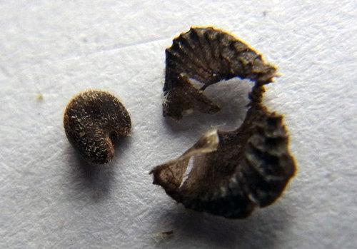 アニソ種子4wb.jpg