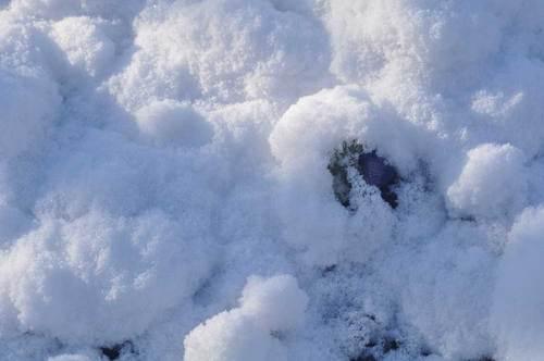 アネモネ20130127雪中wb.jpg