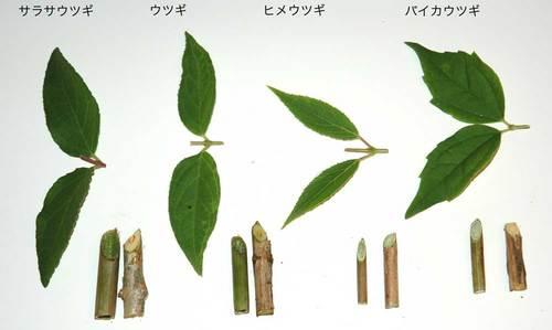 ウツギ空木比較wb.jpg