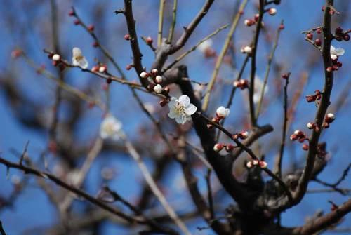 ウメ咲く2wb.jpg
