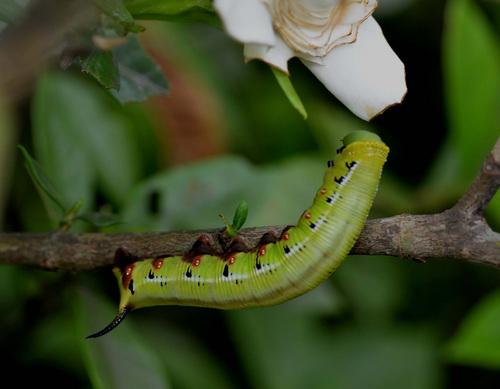 オオスカシバ幼虫2wb.jpg