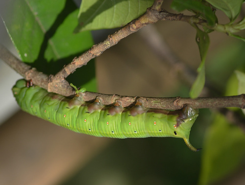 オオスカシバ幼虫4wb.jpg