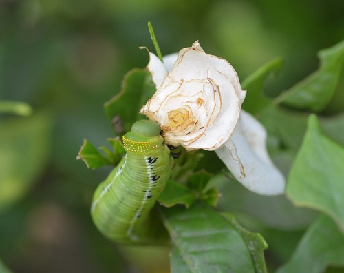 オオスカシバ幼虫5wb.jpg
