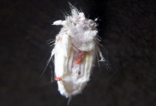 カイガラムシ子虫1wb.jpg