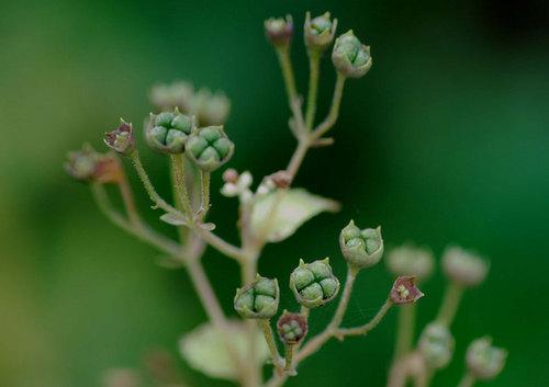 カリガネソウ若い種子wb.jpg