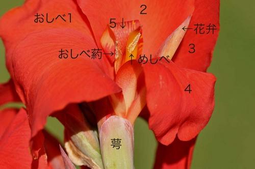 カンナ花の構造wb.jpg