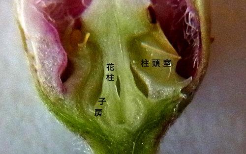 ガガイモの蕾割面wb2.jpg
