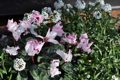 ガーデンシクラメン2012wb.jpg