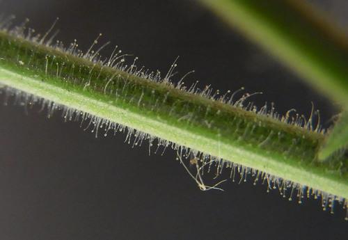 キバナアキギリ茎1wb.jpg