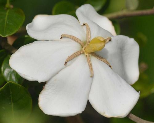 クチナシ花2014-2wb2.jpg