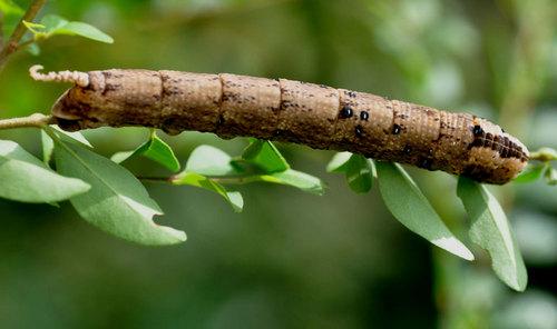 クロメンガタ幼虫1wb.jpg