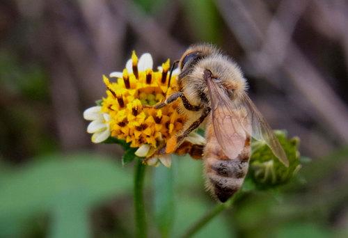 コセンダングサ蜜蜂3wb.jpg
