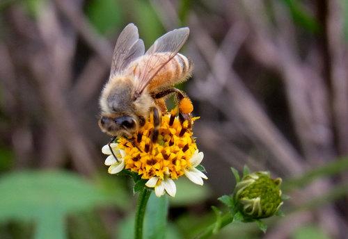 コセンダングサ蜜蜂4wb.jpg