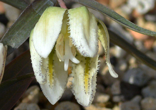 コバイモ花弁wb02-20.jpg