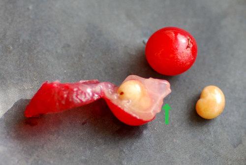 サネカズラ果実と種子2wb.jpg