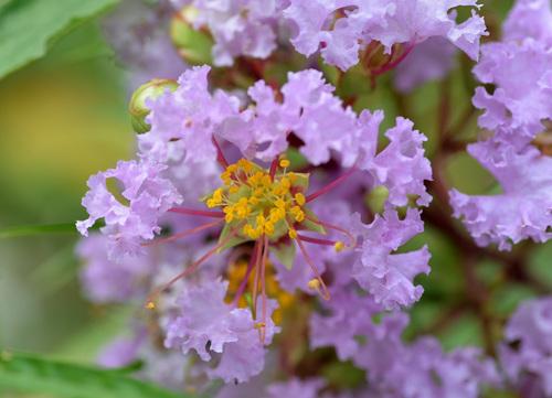 サルスベリ淡紫wb.jpg