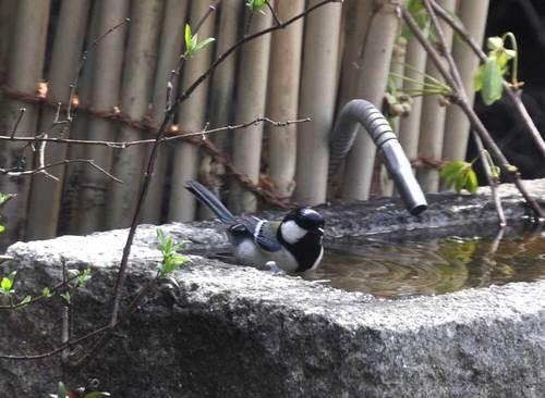 シジュウカラ水浴び1wb.jpg