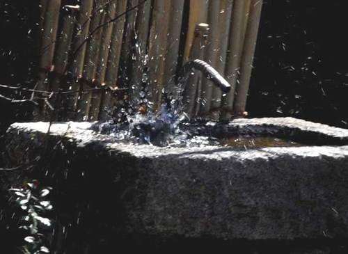 シジュウカラ水浴び2wb.jpg