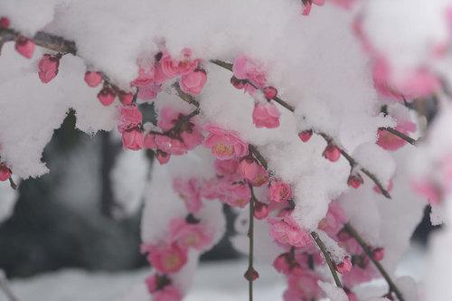 シダレウメ雪2wb.jpg