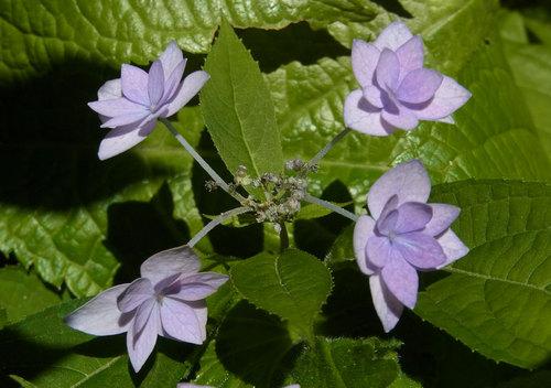 シチダンカ花弁紫2wb.jpg