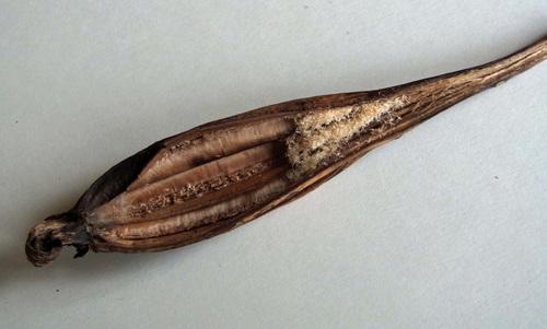 シュンラン種子1wb.jpg