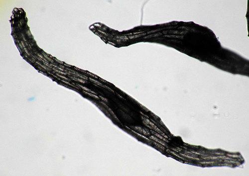 シュンラン顕微鏡1wb2.jpg
