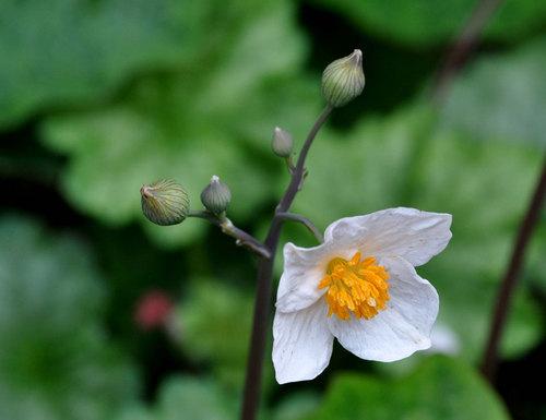 シラユキゲシ花序1wb.jpg