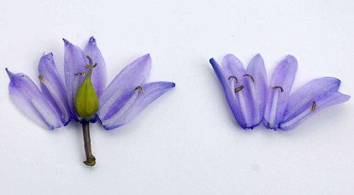 シラー花弁wb3.jpg