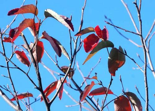 ジュンベリー紅葉1wb.jpg