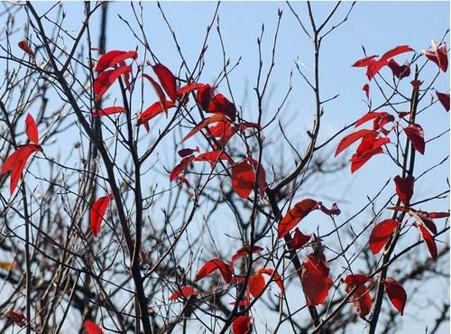 ジュンベリー紅葉3wb.jpg