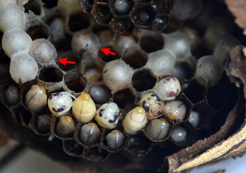 スズメバチ幼虫2wb←.jpg