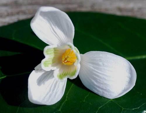 スノードロップ花弁1wb.jpg