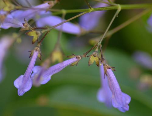 セキヤノアキチョウジ花と萼2wb.jpg