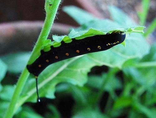 セスジスズメガの幼虫1wb2.jpg