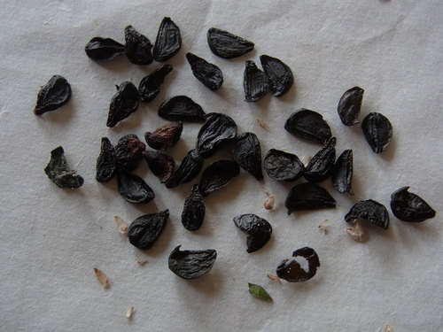 ゼフィランサスカリタ種子wb.jpg
