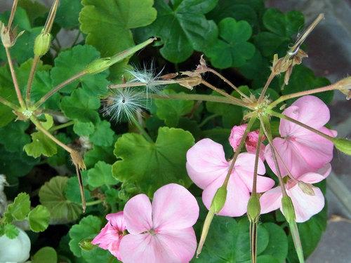ゼラニウム花後2wb.jpg