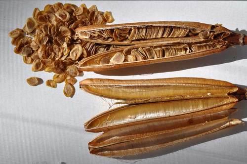 タカサゴユリ種子7wb.jpg