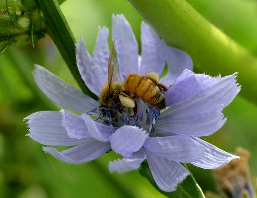 チコリミツバチwb.jpg