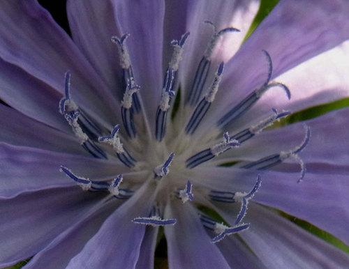 チコリ花0726-2wb2.jpg