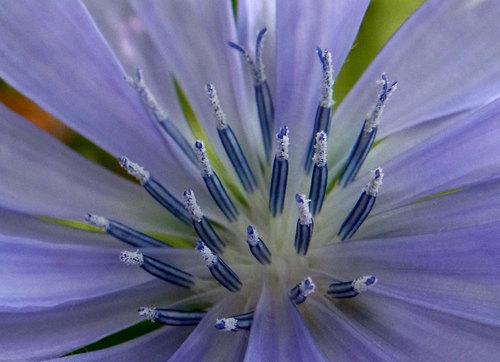チコリ花0727wb2.jpg