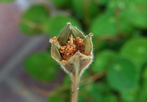 ツキミソウ種子2wb.jpg